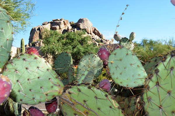The Boulders holds a Prickly Pear celebration each October. Menu items feature the native cacti's tart juice.