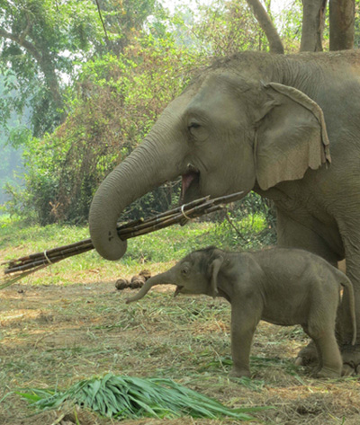 Nong Sam, an elephant born at Anantara Golden Triangle Resort and Spa in March 2014
