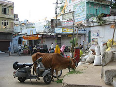 Brahmin cow in the street