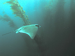 Ray off Channel Islands