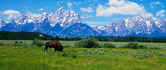 Buffalo and Tetons