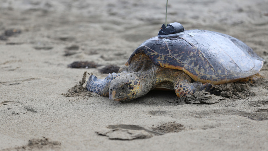 Four Seasons Nevis Sea Turtle Conservation Program