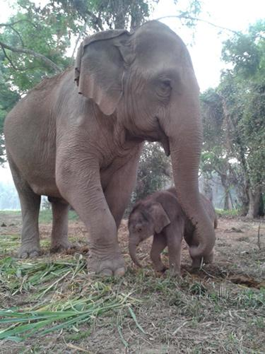 Nong Saman elephant born at Anantara Golden Triangle Resort and Spa in March 2014