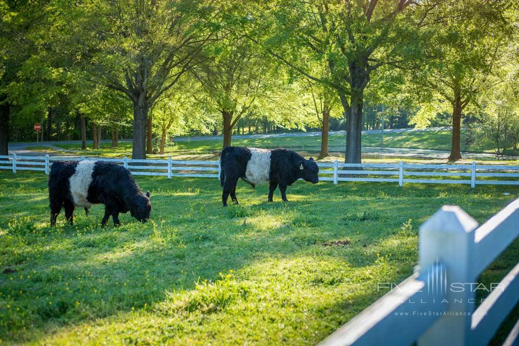 Belted Galloway Cows at The Fearrington House Inn, Pittsboro, NC